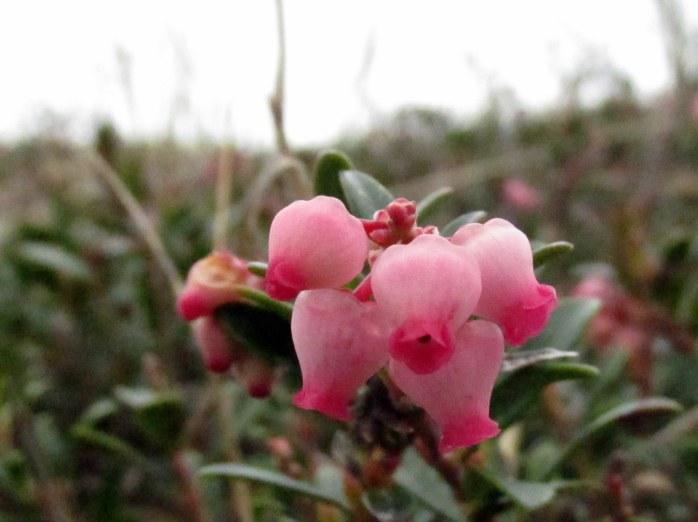 pinkbearberryflowersGreatIslandTrailWellfleetCC27April2017