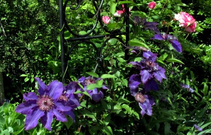 purpleclematisBridgeofFlowersShelburneFallsMA8June2016