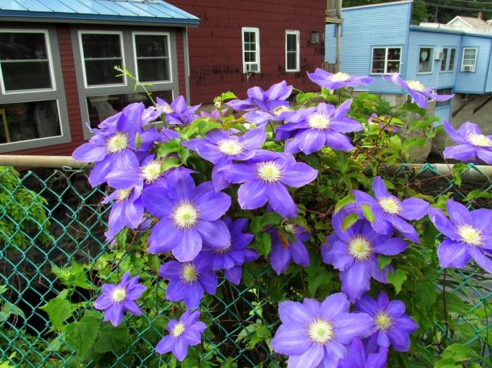 purpleclematisredbluebuildingsBridgeofFlowersShelburneFallsMA8June2016