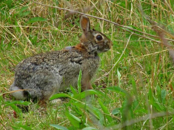 rabbitASachuestPointNWRMiddletownRI7May2017