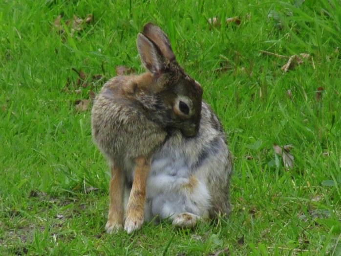 RabbitBbitingitchSachuestPointNWRMiddletownRI7May2017