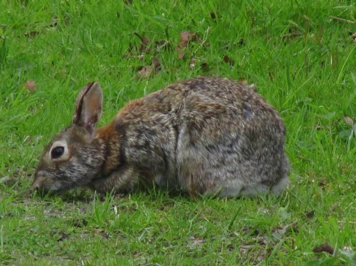 RabbitBnibblingSachuestPointNWRMiddletownRI7May2017