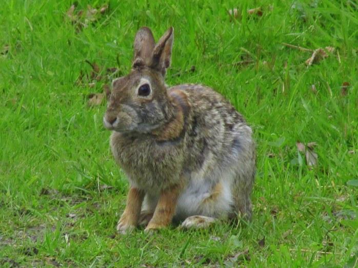 RabbitBposingSachuestPointNWRMiddletownRI7May2017