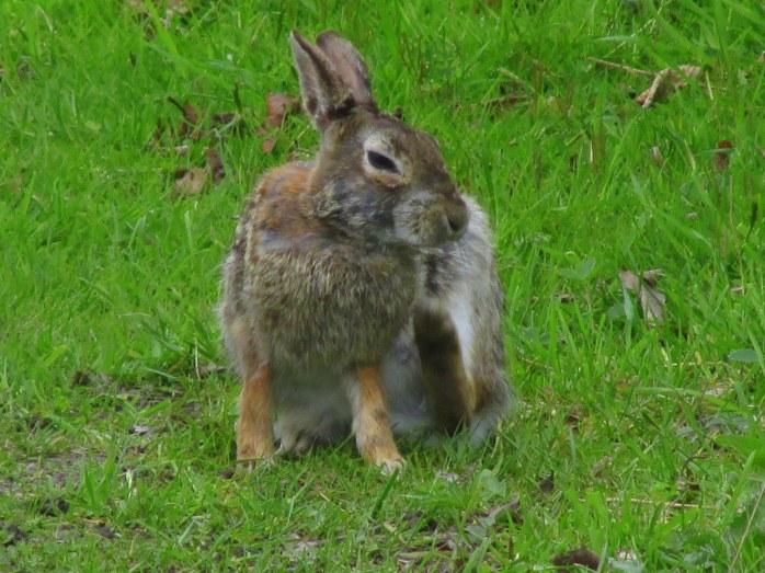 RabbitBscratchingSachuestPointNWRMiddletownRI7May2017