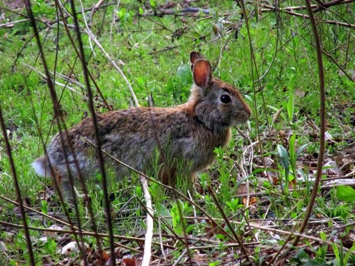 rabbitbycentercMassAudubonWellfleetCC29April2017