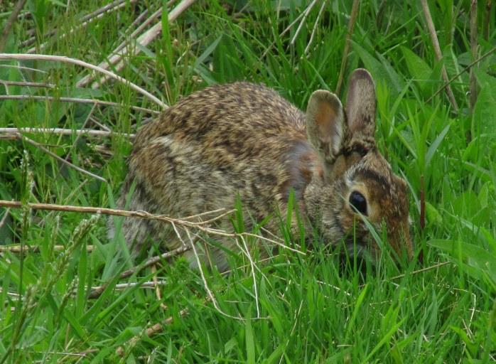 RabbitCfacegrassSachuestPointNWRMiddletownRI7May2017