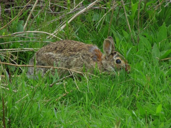 RabbitCgrassSachuestPointNWRMiddletownRI7May2017