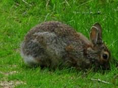 rabbiteatingTrustomPondNWRSouthKingstownRI8May2017