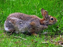 rabbitneckstretchedtickTrustomPondNWRSouthKingstownRI8May2017