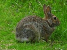 rabbitTrustomPondNWRSouthKingstownRI8May2017