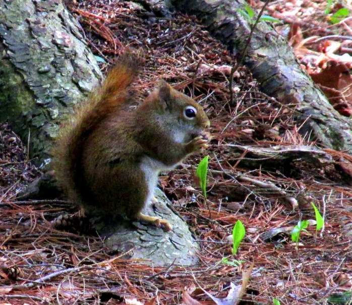 redsquirreleatingHeritageGardenSandwichMACC30April2017