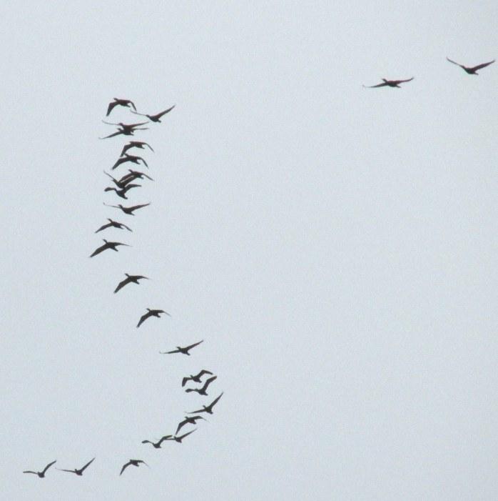 seabirdsflyingskyGreatIslandTrailWellfleetCC27April2017