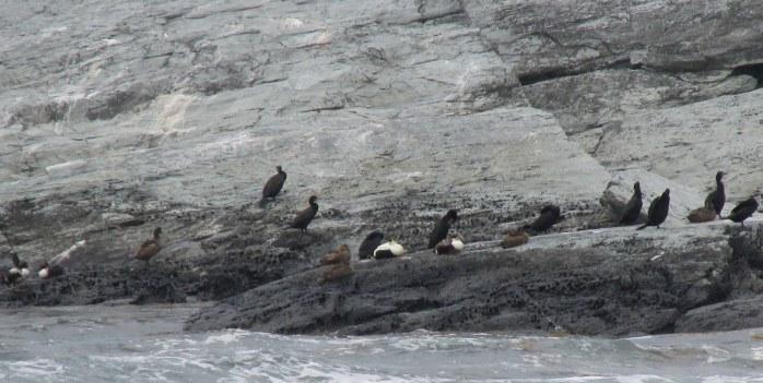 shorebirdsonrockdistanceSachuestPointNWRMiddletownRI7May2017