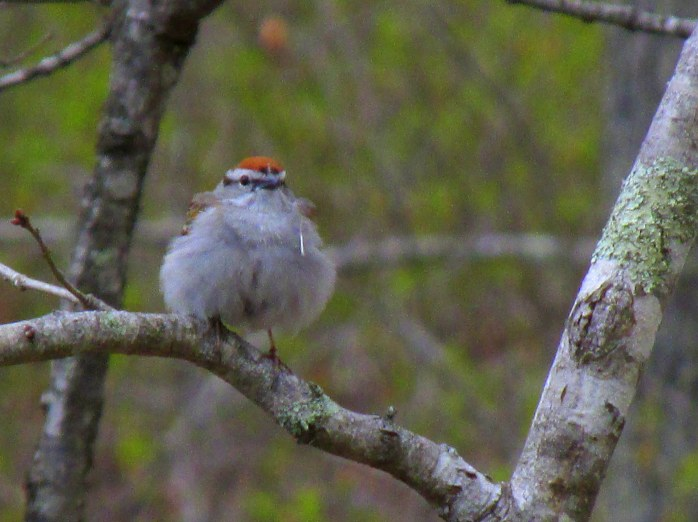 smallpuffychippingsparrowbirdredheadKettlePondNinigretNWRCharlestownRI8May2017