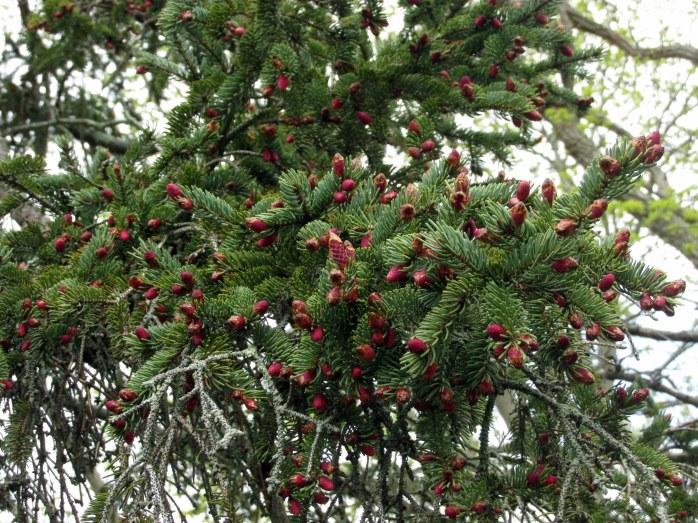 sprucetreesmallpurpleredpineconesHeritageGardenSandwichMACC30April2017