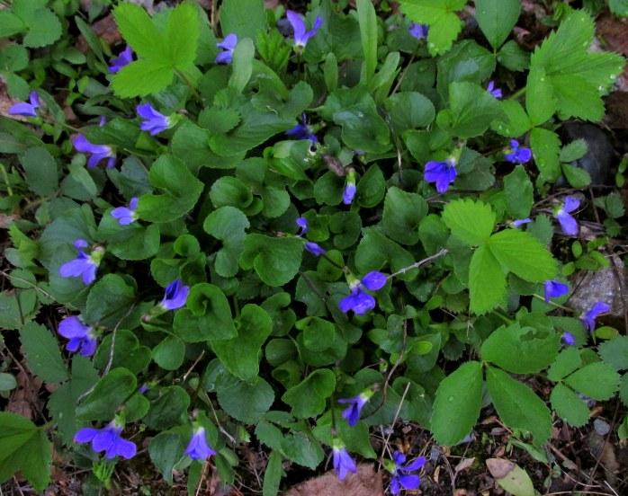 violets2May2017