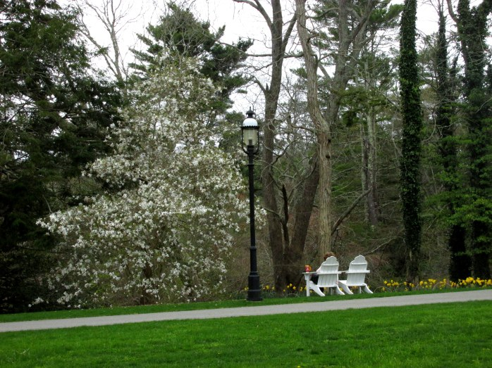 whitemagnoliabloomdaffodilwomanAdirondackchairHeritageGardenSandwichMACC30April2017