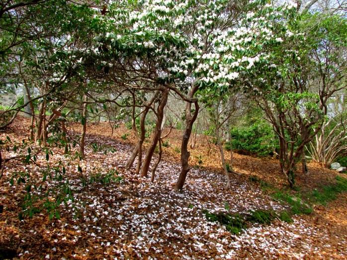 whiterhododendronbloomsfallenHeritageGardenSandwichMACC30April2017