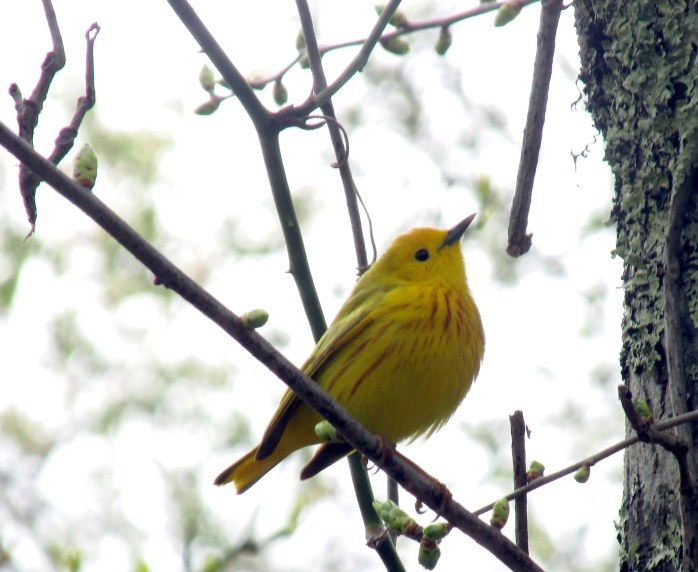 yellowwarblerbirdbestTrustomPondNWRSouthKingstownRI8May2017