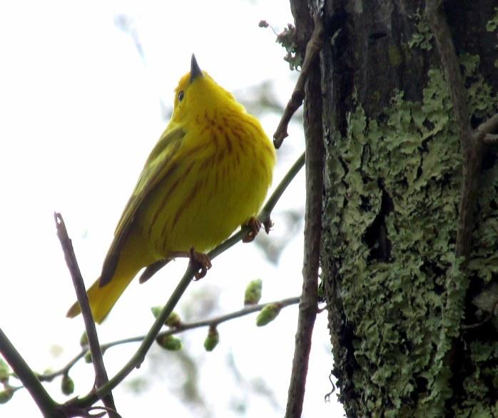 yellowwarblerbirdneckchestTrustomPondNWRSouthKingstownRI8May2017