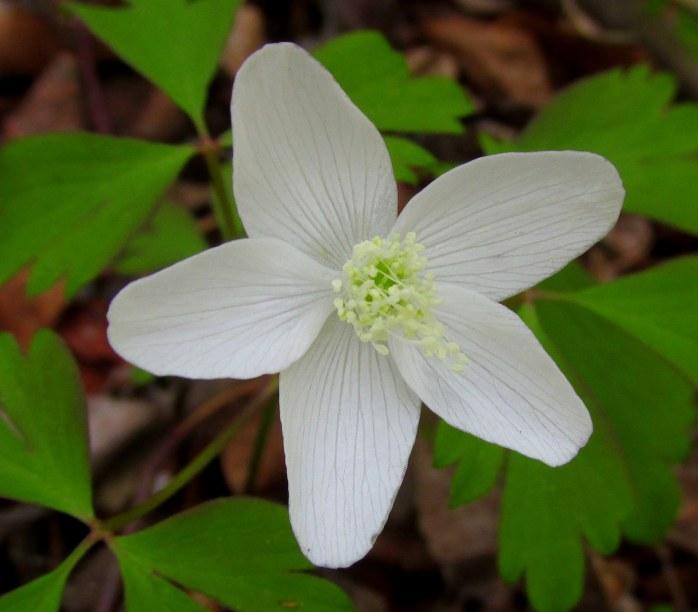 AnemoneQuinquefoliaWoodanemoneflowercloseKettlePondNinigretNWRCharlestownRI8May2017