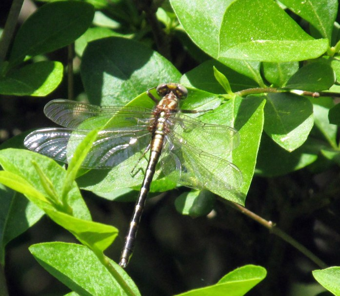 dragonflyBedrockGardensNH20May2017
