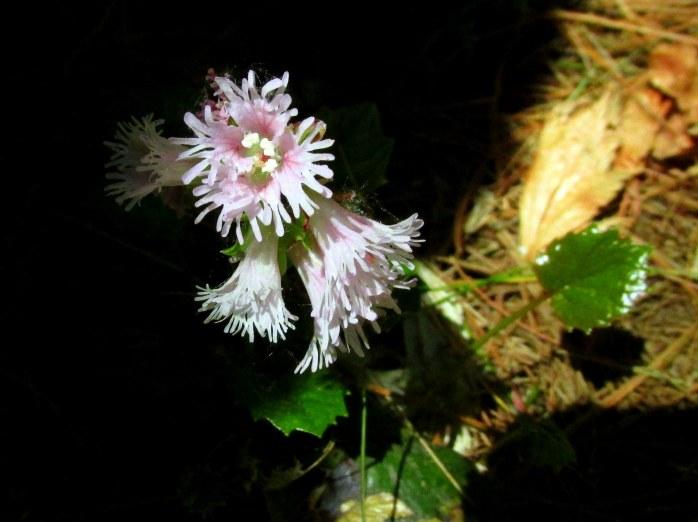 frillywhitepinkflowerPetitPondBedrockGardensNH20May2017