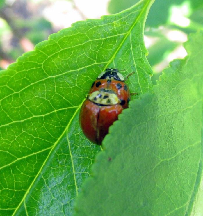 ladybugsmating1June2017