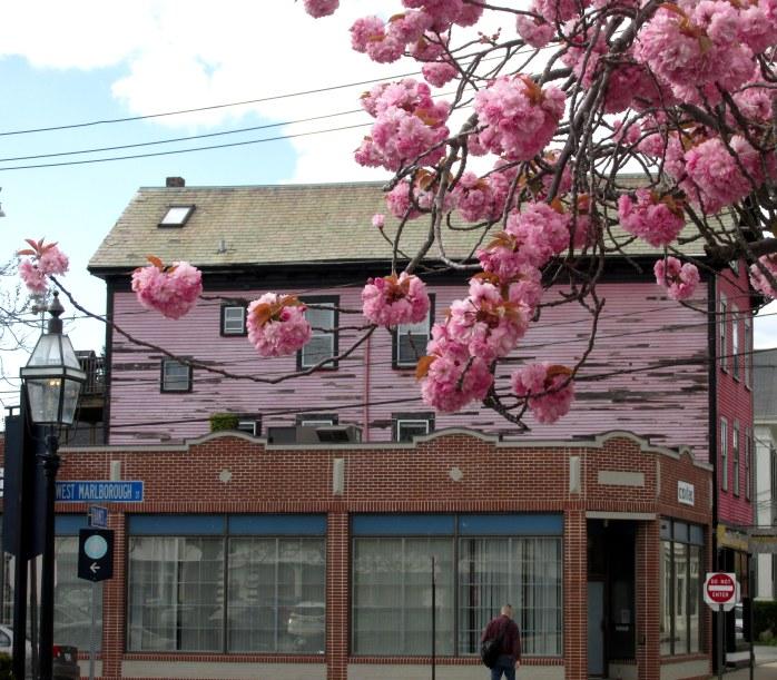 pinkcherryblossomspinkbuildingThamesStNewportRI7May2017