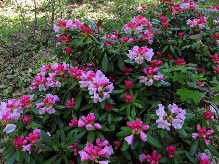 pinkwhiterhododendronsPetitPondBedrockGardensNH20May2017
