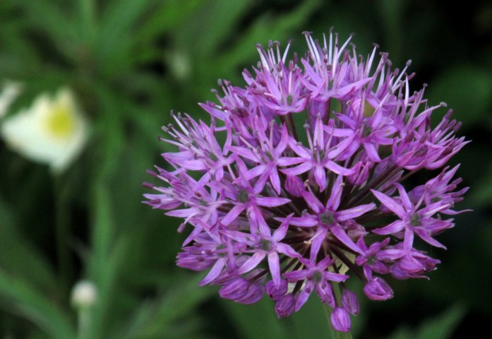 purplealliumfloweranemonebackground7June2017