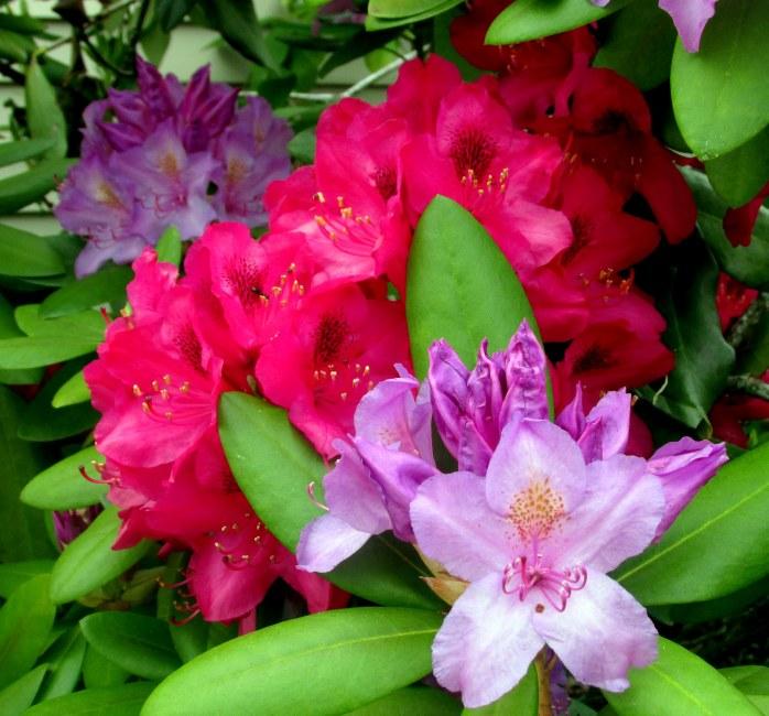 redpurplerhododendronbloomsb9June2017