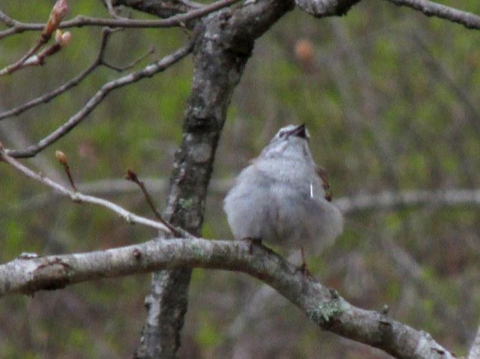 smallpuffychippingsparrowbirdredheadupKettlePondNinigretNWRCharlestownRI8May2017