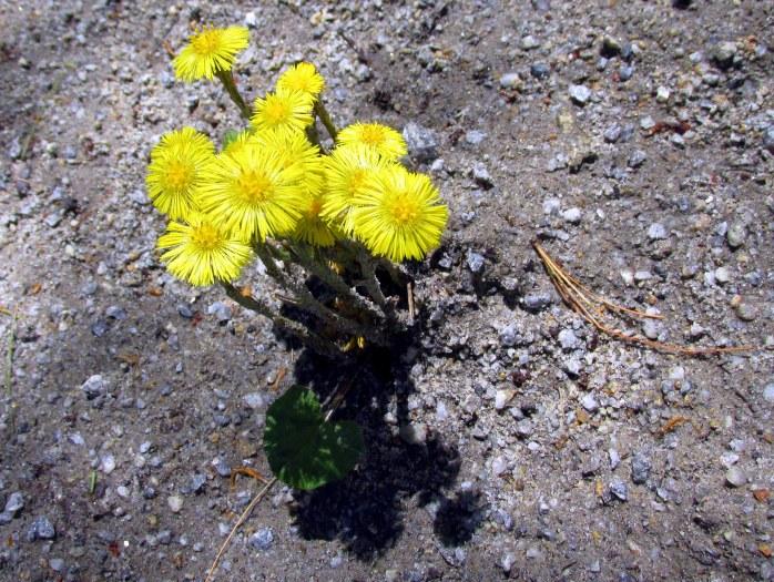 yellowcoltsfootflowersshadowKezarLakeNH16May2017