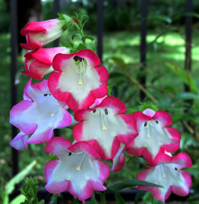 annualPhoenixPinkpenstemon10Sept2014