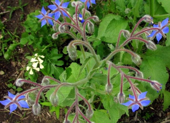 boragearugulaflowersveggarden9July2017