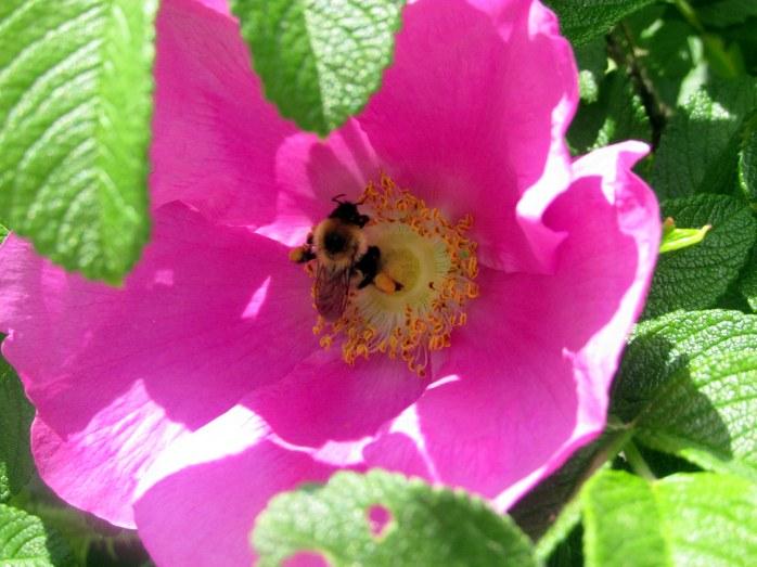 bumblebeeinrosarugosaKezarLakeSuttonNH11June2017