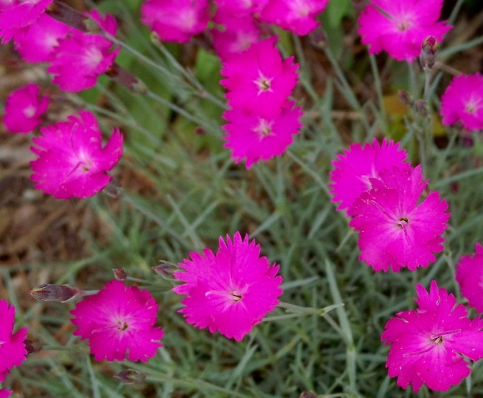 cheddarpinkdianthus1June2012