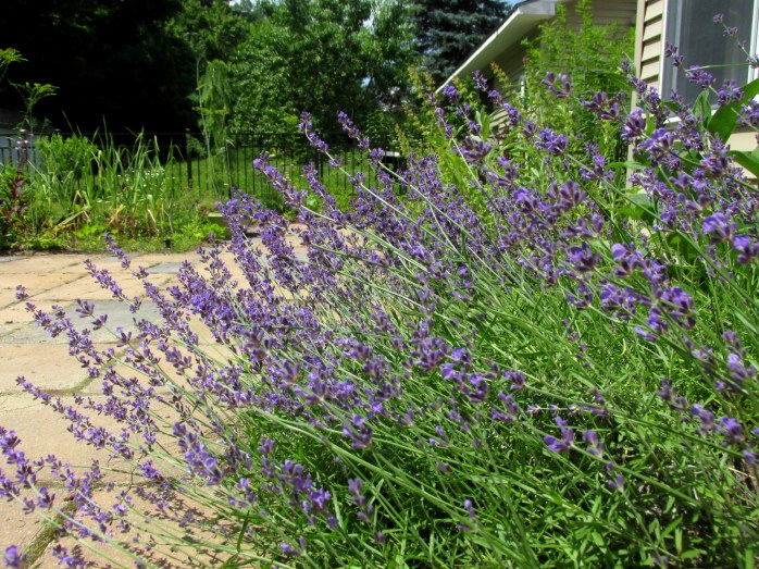 lavenderpatio17July2017