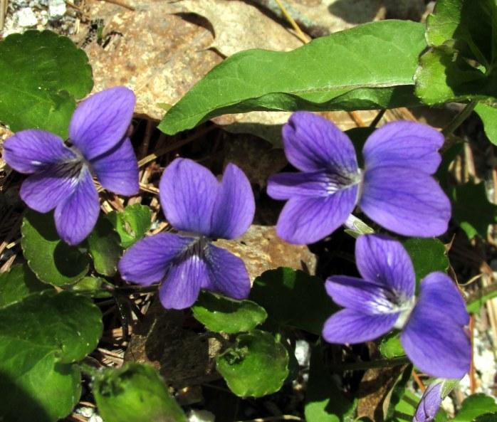 purplevioletsflowersKezarLakeNH17May2017