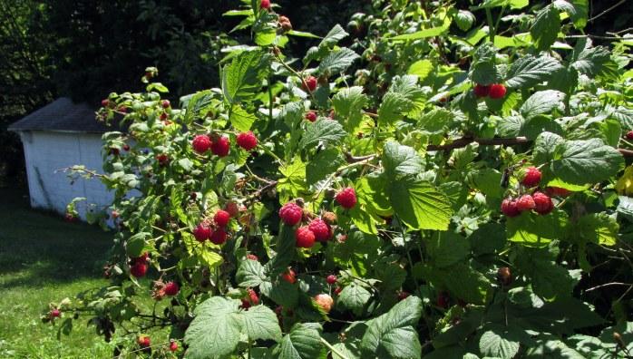 raspberryshrubsshed18July2017
