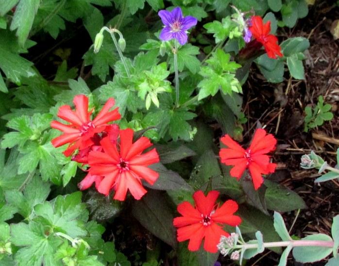 redlychnisLuminacatchflyflowerpurplegeraniumflower11July2017