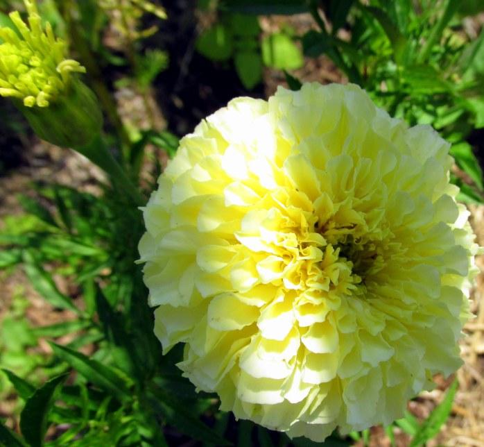 vanillamarigoldflowerplusbudveggarden18July2017