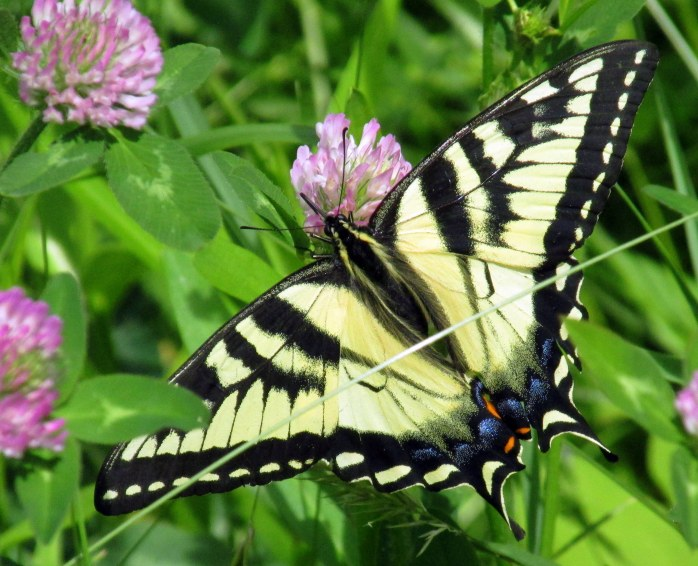 verylargeswallowtailbutterflyredcloverKezarLakeSuttonNH21June2017