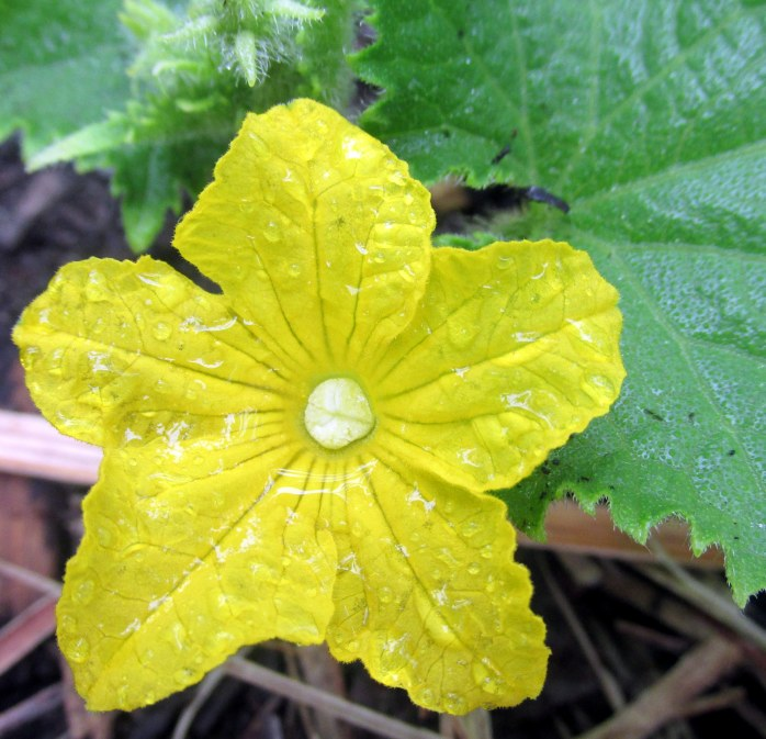 yellowcucumberflowerveggarden11July2017