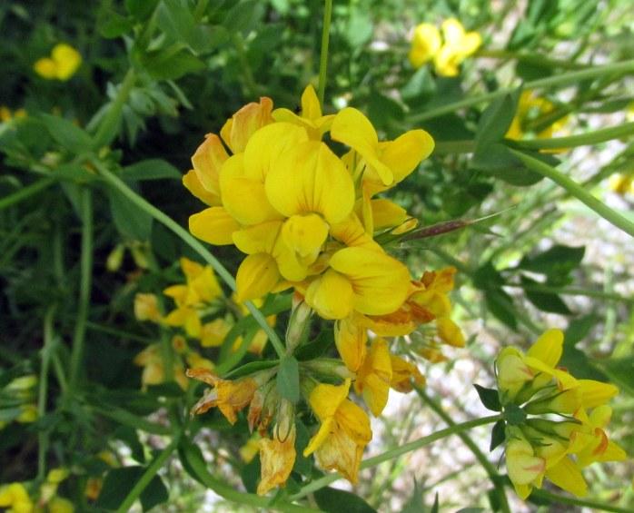 yellowflowermysteryKezarLakeSuttonNH21June2017