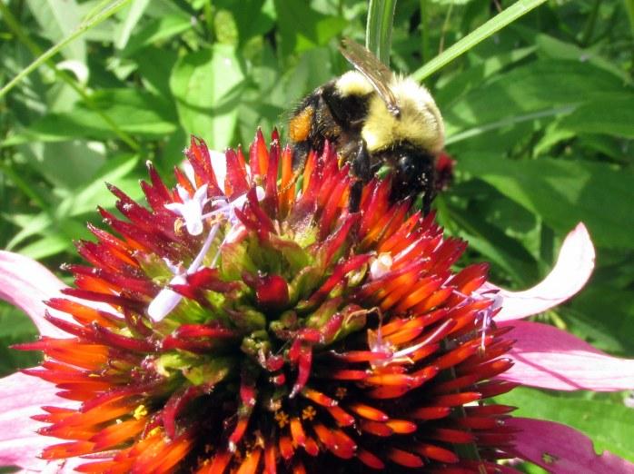 bumblebeepollenechinaceaclose7Aug2017
