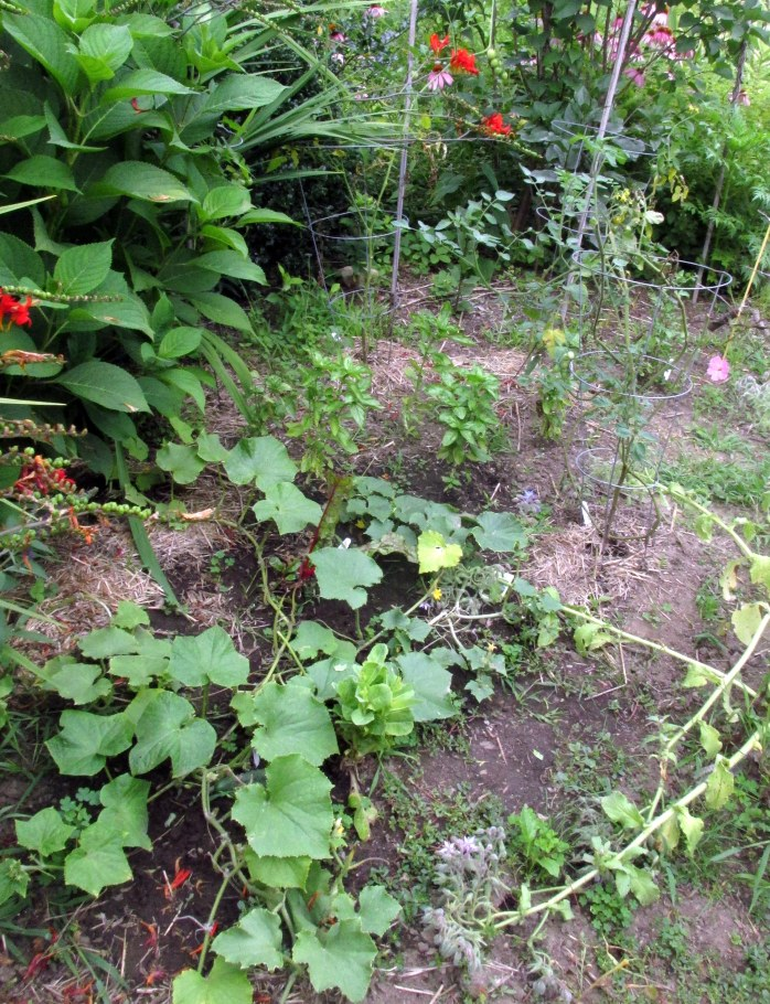cucumberbasiltomatoesveggarden15Aug2017