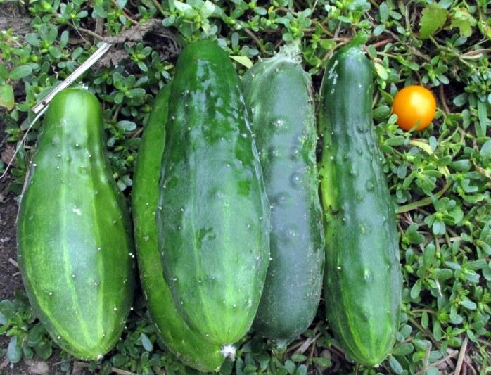 cucumbersharvest15Aug2017