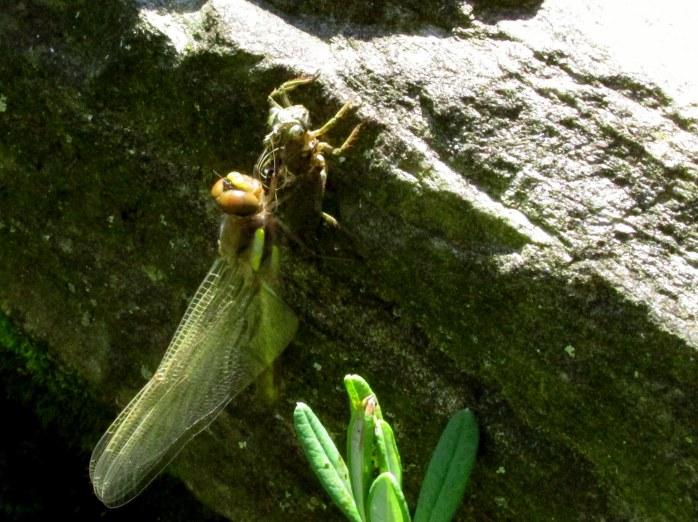 dragonflypredationsmallpondbDistantHillsGardensWalpoleNH6Aug2017